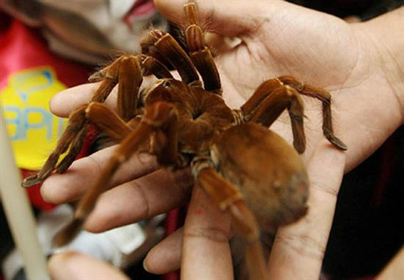 Η μεγαλύτερη αράχνη στον κόσμο