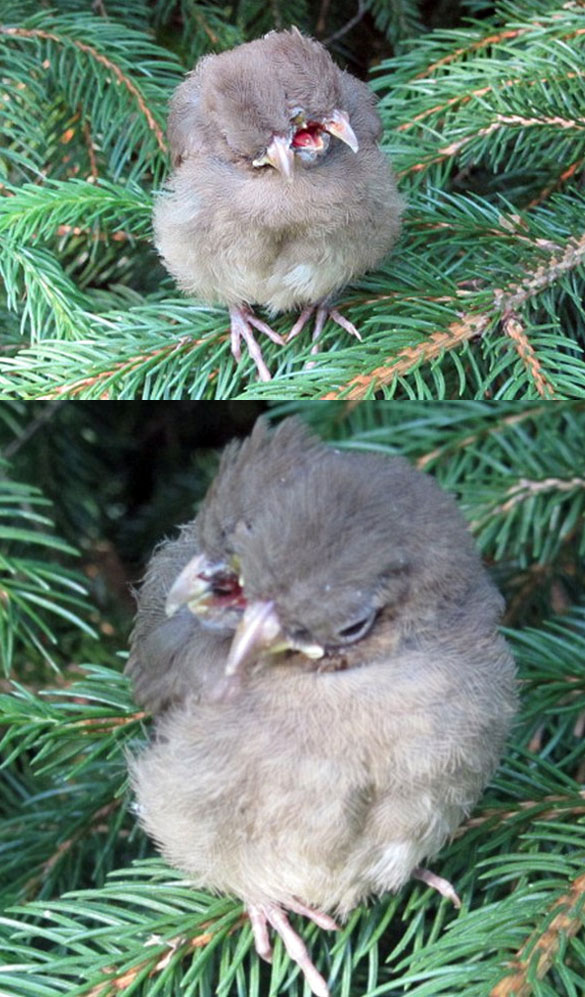 Δικέφαλο πουλί με 3 ράμφη   Φωτογραφία της ημέρας