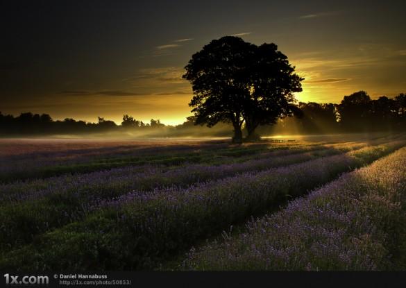 Λεβάντα την αυγή | Φωτογραφία της ημέρας