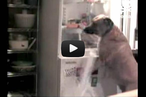 Σκύλος κάνει επιδρομή στο ψυγείο
