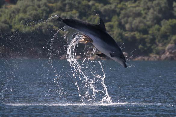 Χταπόδι κόλλησε στα γεννητικά όργανα δελφινιού (1)