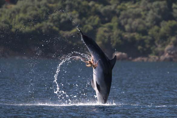 Χταπόδι κόλλησε στα γεννητικά όργανα δελφινιού (2)