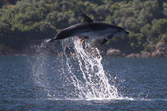 Χταπόδι κόλλησε στα γεννητικά όργανα δελφινιού (3)