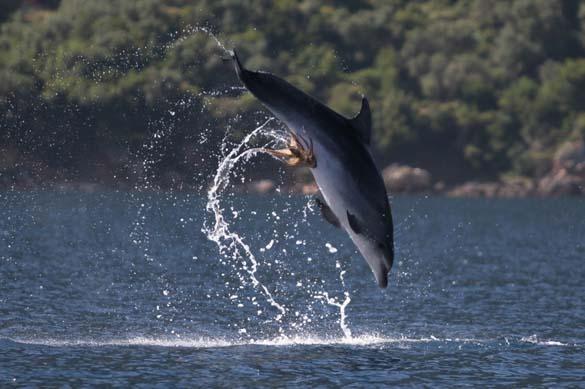 Χταπόδι κόλλησε στα γεννητικά όργανα δελφινιού (4)