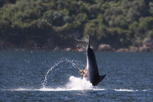 Χταπόδι κόλλησε στα γεννητικά όργανα δελφινιού (5)