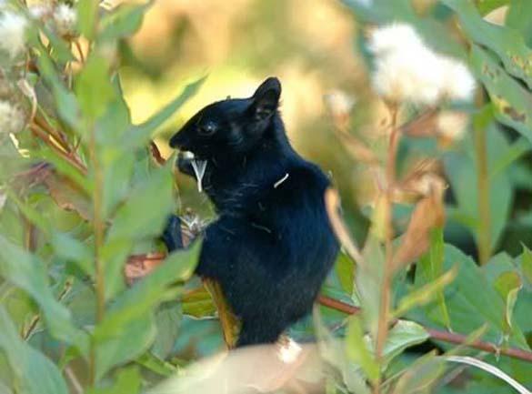 Εντυπωσιακά ζώα που πάσχουν από Μελανισμό (2)