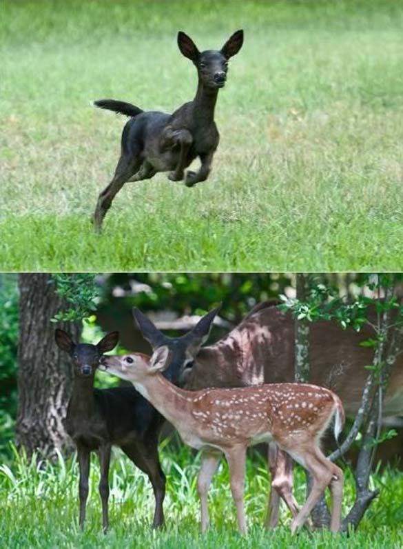 Εντυπωσιακά ζώα που πάσχουν από Μελανισμό (3)