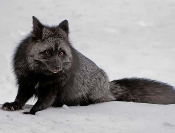 Εντυπωσιακά ζώα που πάσχουν από Μελανισμό (5)