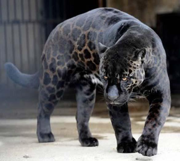 Εντυπωσιακά ζώα που πάσχουν από Μελανισμό (8)
