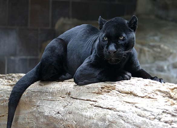 Εντυπωσιακά ζώα που πάσχουν από Μελανισμό (10)