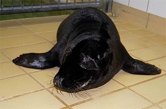 Εντυπωσιακά ζώα που πάσχουν από Μελανισμό (13)