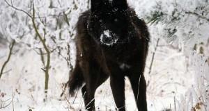 Εντυπωσιακά ζώα που πάσχουν από Μελανισμό