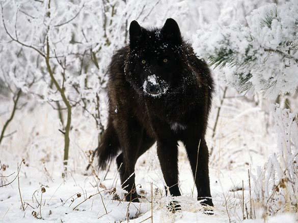 Εντυπωσιακά ζώα που πάσχουν από Μελανισμό (15)