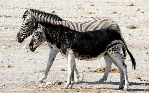 Εντυπωσιακά ζώα που πάσχουν από Μελανισμό (16)