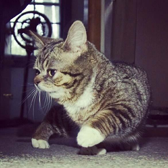 Το γατάκι νάνος που τρελαίνει το Internet (3)