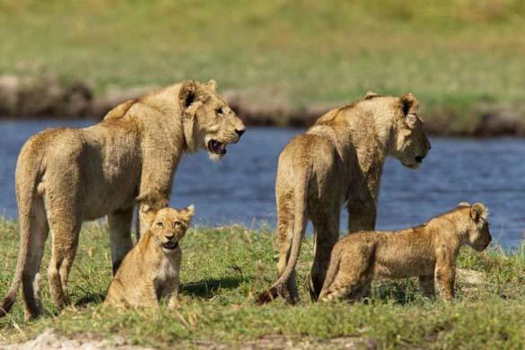 Λιονταρίνα τα βάζει με κροκόδειλο για να προστατεύσει τα μικρά της (1)