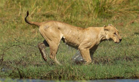 Λιονταρίνα τα βάζει με κροκόδειλο για να προστατεύσει τα μικρά της (9)