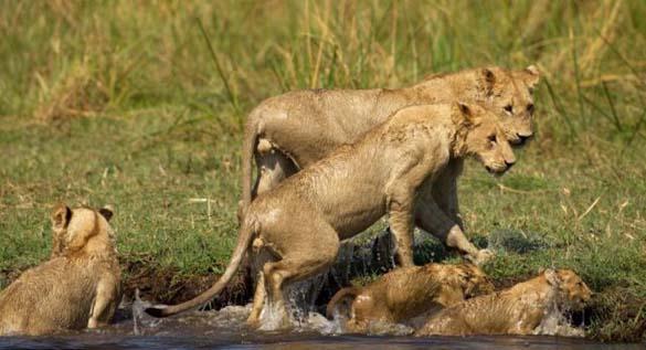 Λιονταρίνα τα βάζει με κροκόδειλο για να προστατεύσει τα μικρά της (10)