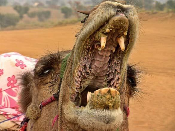 Μέσα στο στόμα μιας καμήλας (1)