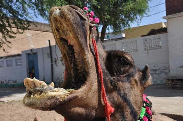 Μέσα στο στόμα μιας καμήλας (3)