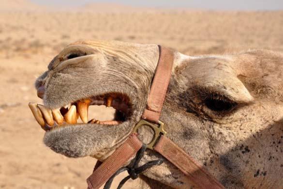 Μέσα στο στόμα μιας καμήλας (4)