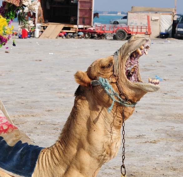 Μέσα στο στόμα μιας καμήλας (5)