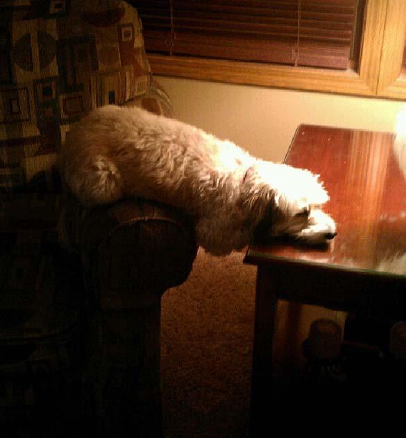 Παράξενες στάσεις ύπνου για σκύλους (2)