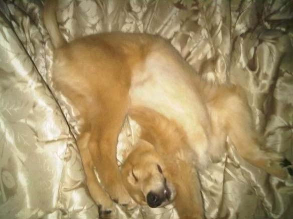 Παράξενες στάσεις ύπνου για σκύλους (6)