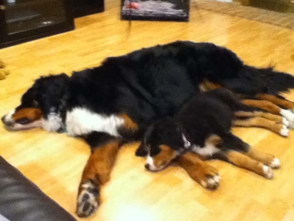 Παράξενες στάσεις ύπνου για σκύλους (8)