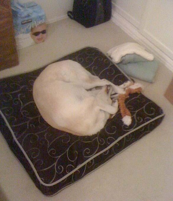 Παράξενες στάσεις ύπνου για σκύλους (9)