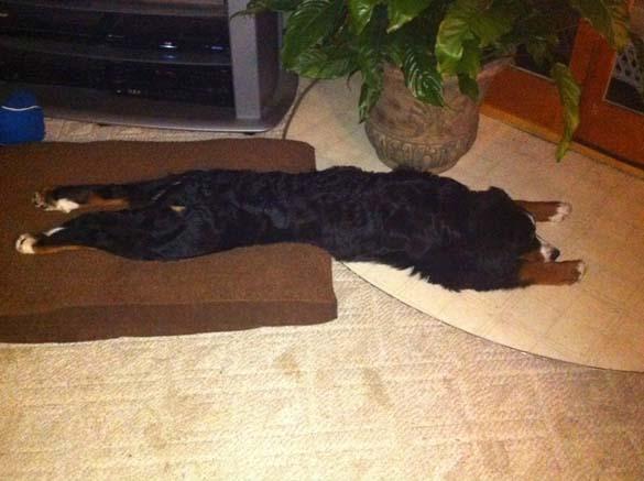 Παράξενες στάσεις ύπνου για σκύλους (13)