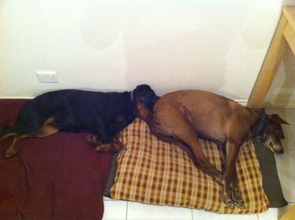Παράξενες στάσεις ύπνου για σκύλους (16)