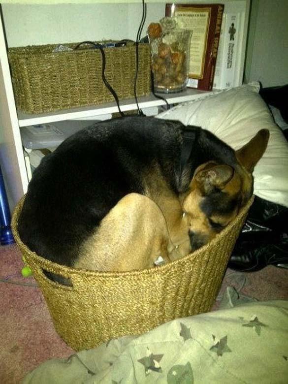 Παράξενες στάσεις ύπνου για σκύλους (21)