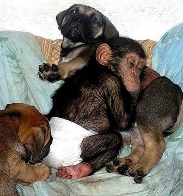 Σκύλος υιοθέτησε μωρό χιμπατζή (1)