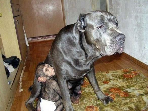 Σκύλος υιοθέτησε μωρό χιμπατζή (3)