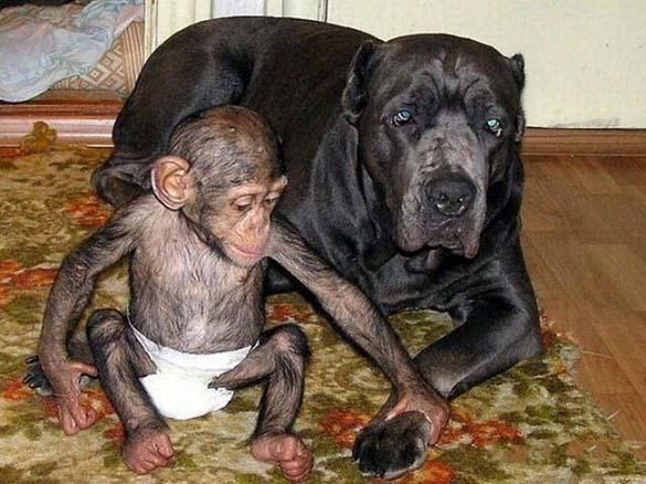 Σκύλος υιοθέτησε μωρό χιμπατζή (4)