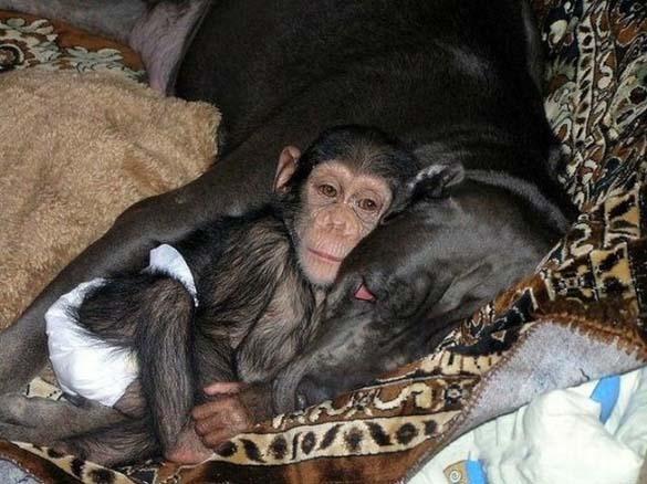 Σκύλος υιοθέτησε μωρό χιμπατζή (5)