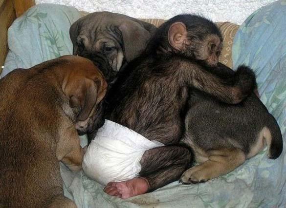 Σκύλος υιοθέτησε μωρό χιμπατζή (6)