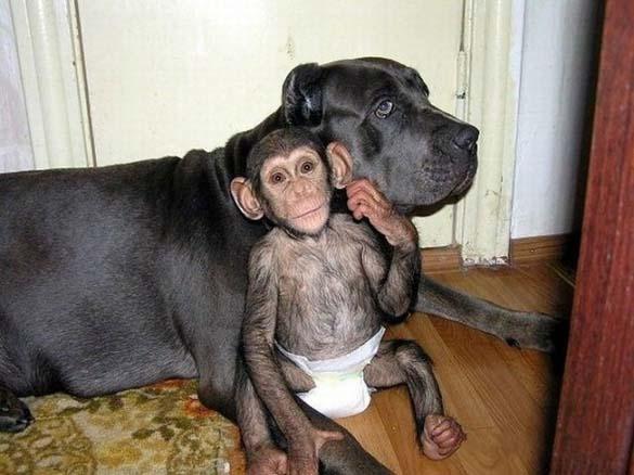 Σκύλος υιοθέτησε μωρό χιμπατζή (7)
