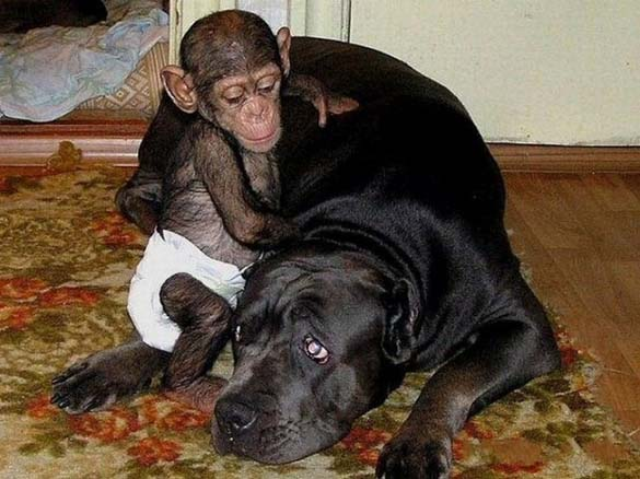 Σκύλος υιοθέτησε μωρό χιμπατζή (8)