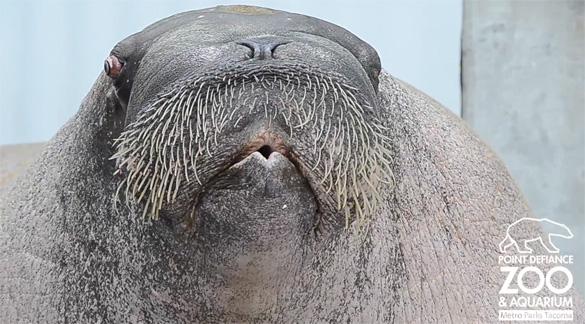 Θαλάσσιος ίππος επιδεικνύει τις φωνητικές του ικανότητες