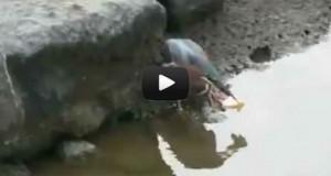 Έξυπνο πουλί πάει για ψάρεμα (Video)