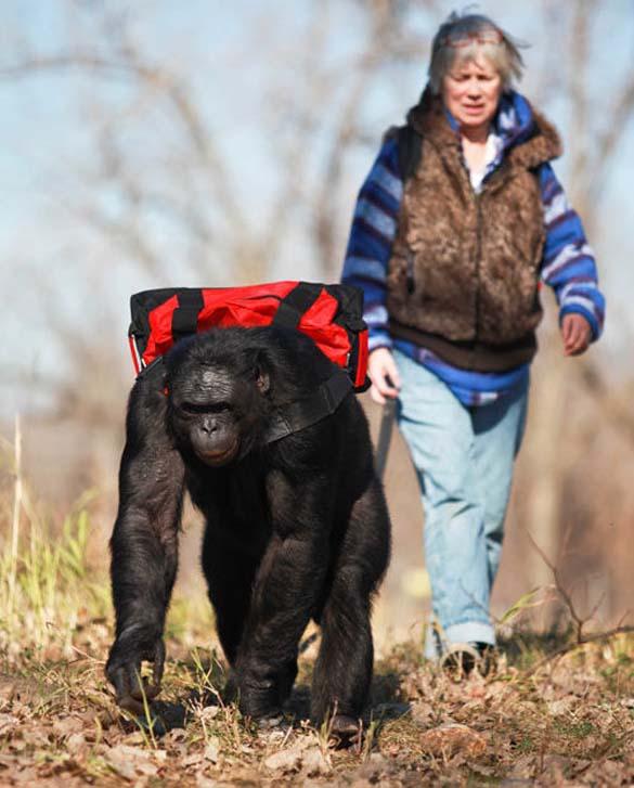 Γνωρίστε τον χιμπατζή που μαγειρεύει (1)