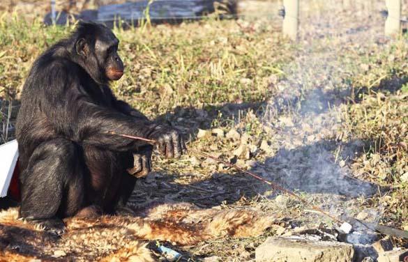 Γνωρίστε τον χιμπατζή που μαγειρεύει (3)