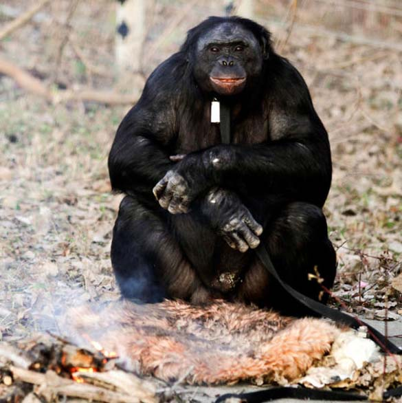 Γνωρίστε τον χιμπατζή που μαγειρεύει (5)