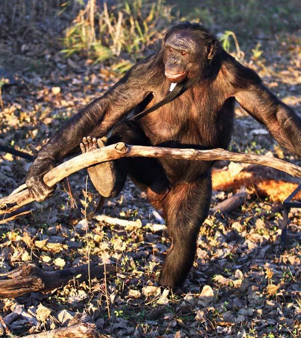 Γνωρίστε τον χιμπατζή που μαγειρεύει (6)