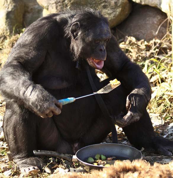 Γνωρίστε τον χιμπατζή που μαγειρεύει (7)