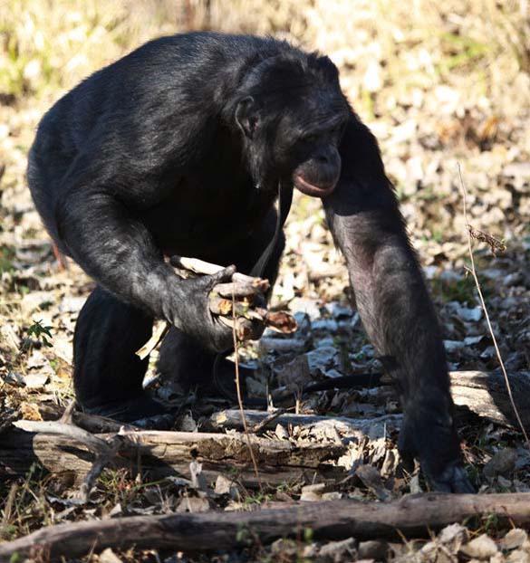 Γνωρίστε τον χιμπατζή που μαγειρεύει (8)
