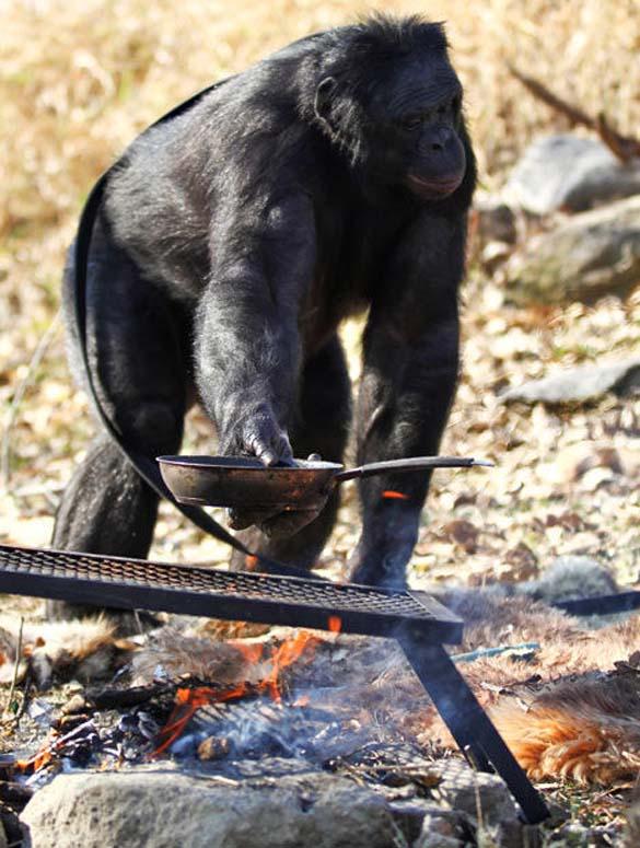Γνωρίστε τον χιμπατζή που μαγειρεύει (9)