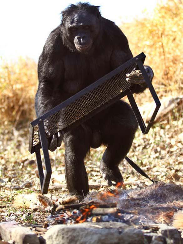 Γνωρίστε τον χιμπατζή που μαγειρεύει (10)